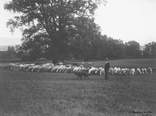 Troupeau de moutons à proximité de Genève