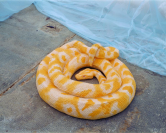 Vignette 5 - Titre : Serpent [python molure albinos 1]