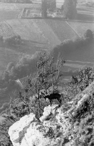 Haute-Savoie, Salève: chamois