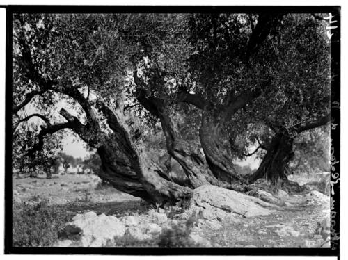 Ithaque, plateau de Marathia: olivier