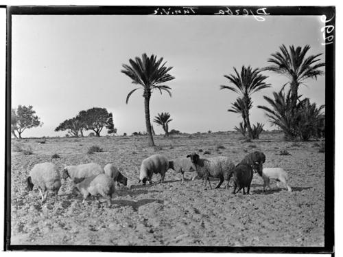 Tunisie, Djerba: moutons