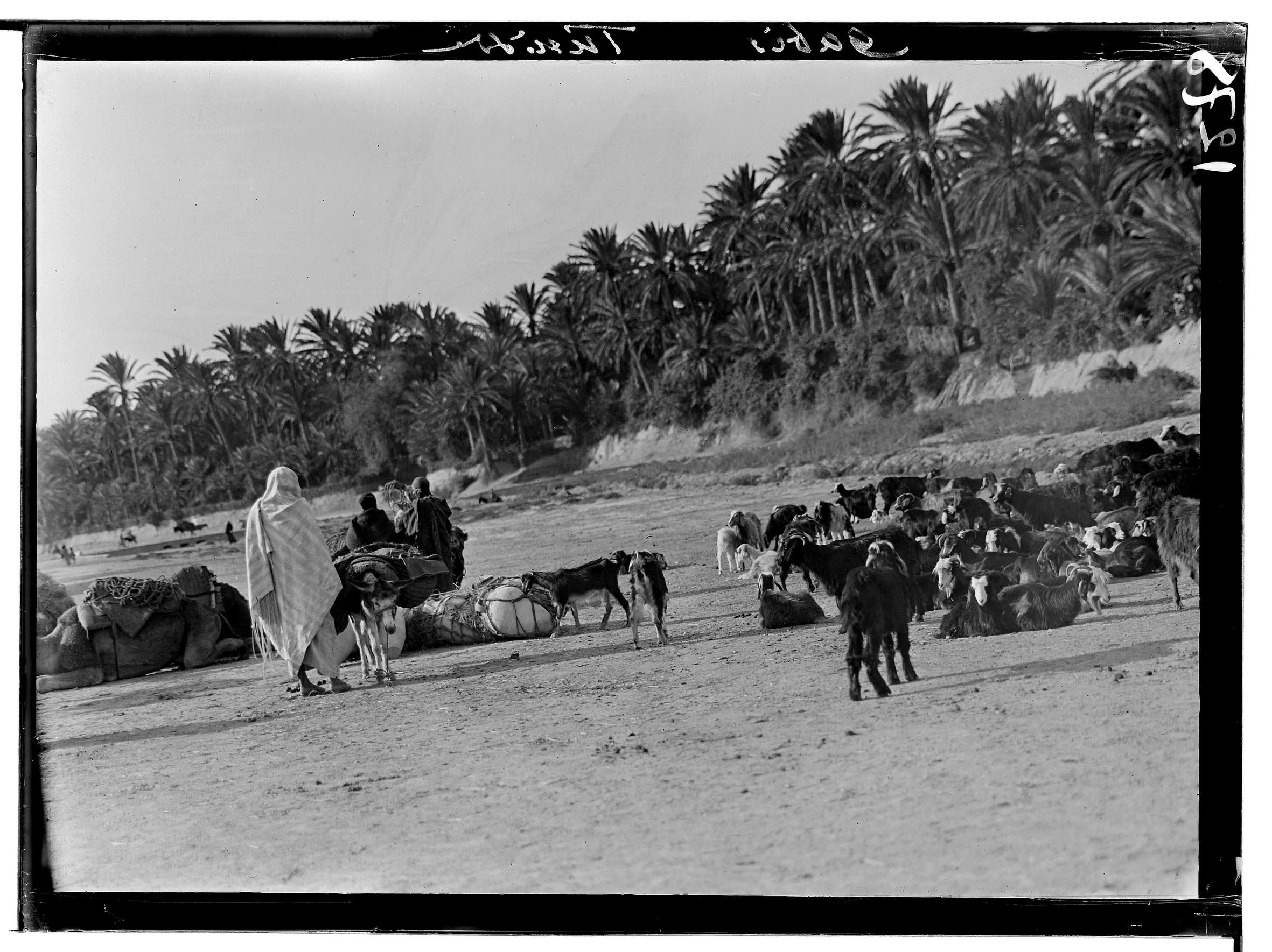Tunisie, Gabès: troupeau de chèvres